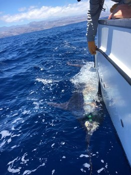 530 lbs Blue Marlin Cavalier & Blue Marlin Sport Fishing Gran Canaria