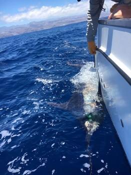530 libras de aguja azul Pesca Deportiva Cavalier & Blue Marlin Gran Canaria