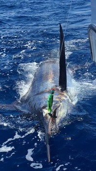 Blue Marlin 530 lbs released by Philip Jones from the UK. Cavalier & Blue Marlin Sport Fishing Gran Canaria