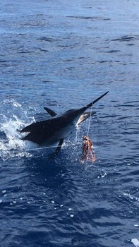 160 kg / 350 lbs Blue Marlin Cavalier & Blue Marlin Sport Fishing Gran Canaria