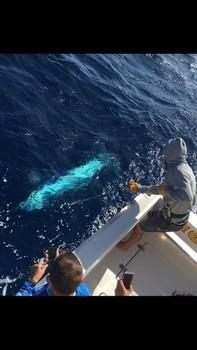 300 kg Blue Marlin - Blue Marlin 660 lbs Cavalier & Blue Marlin Sport Fishing Gran Canaria