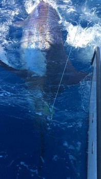 280 kg Blue Marlin Cavalier & Blue Marlin Sport Fishing Gran Canaria