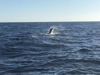 Jumping Marlin - Jumping Blue Marlin Cavalier & Blue Marlin Sport Fishing Gran Canaria