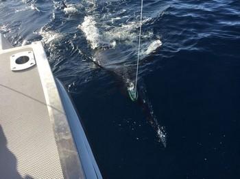 240 kg Blue Marlin Cavalier & Blue Marlin Sport Fishing Gran Canaria