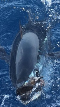 Great Shot - Nice Albacore Cavalier & Blue Marlin Sport Fishing Gran Canaria