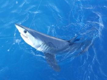 Mako Shark - Mako shark Cavalier & Blue Marlin Sport Fishing Gran Canaria
