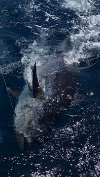 280 kg Bluefin Tuna Cavalier & Blue Marlin Sport Fishing Gran Canaria