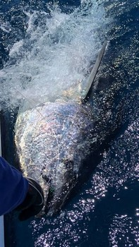 350 kg Bluefin Tuna Cavalier & Blue Marlin Sport Fishing Gran Canaria