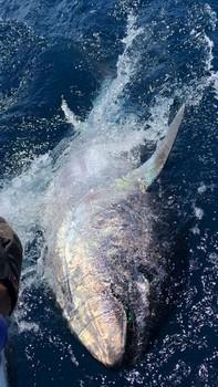 350 kg Bluefin Tuna released by Kaarlo on the boat Cavalier Cavalier & Blue Marlin Sport Fishing Gran Canaria