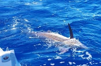 440 lbs Blue Marlin Cavalier & Blue Marlin Sport Fishing Gran Canaria