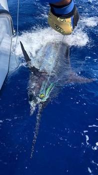 140 kg Blue Marlin Cavalier & Blue Marlin Sport Fishing Gran Canaria