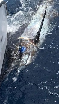 800 lbs Blue Marlin Cavalier & Blue Marlin Sport Fishing Gran Canaria