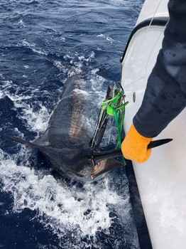 400 lbs Blue Marlin Cavalier & Blue Marlin Sport Fishing Gran Canaria