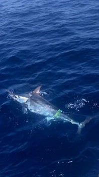 450 lbs Blue Marlin Cavalier & Blue Marlin Sport Fishing Gran Canaria