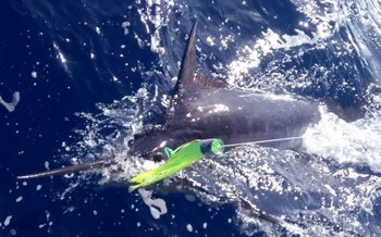 250 lbs Blue Marlin Cavalier & Blue Marlin Sport Fishing Gran Canaria
