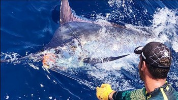 700 lbs Blue Marlin Cavalier & Blue Marlin Sport Fishing Gran Canaria