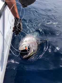 Bluefin Tuna 340 kg Cavalier & Blue Marlin Sport Fishing Gran Canaria