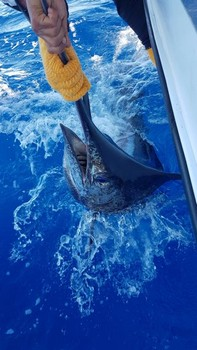 Blue Marlin 220 lbs Cavalier & Blue Marlin Sport Fishing Gran Canaria
