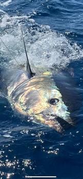 200 & 280 kilo Cavalier & Blue Marlin Sport Fishing Gran Canaria