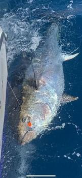 5 dagar - 6 blåfenad Cavalier & Blue Marlin Sport Fishing Gran Canaria