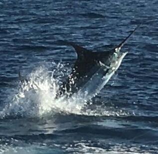 Blauwe marlijn Cavalier & Blue Marlin Sport Fishing Gran Canaria