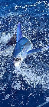 Cavalier released Blue Marlin & Spearfish Cavalier & Blue Marlin Sport Fishing Gran Canaria