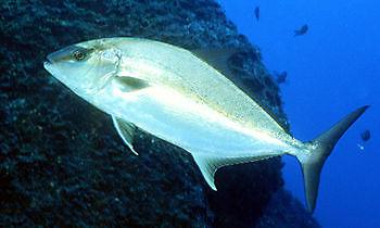 Amberjack greater Cavalier & Blue Marlin Sport Fishing Gran Canaria