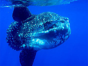 Sunfish Ocean Cavalier & Blue Marlin Sport Fishing Gran Canaria