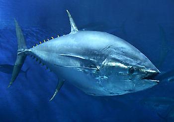 Tuna blue fin Cavalier & Blue Marlin Sport Fishing Gran Canaria