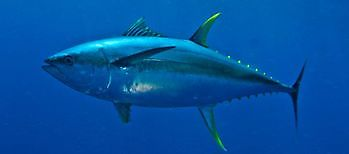 Tuna yellow fin Cavalier & Blue Marlin Sport Fishing Gran Canaria
