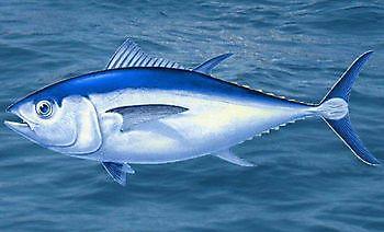Tuna big eye Cavalier & Blue Marlin Sport Fishing Gran Canaria