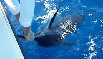 Release of a Blue Marlin Cavalier & Blue Marlin Sport Fishing Gran Canaria
