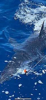 https://www.bluemarlin3.com/nl/mako-haai Cavalier & Blue Marlin Sport Fishing Gran Canaria