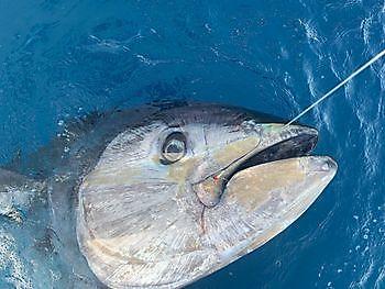 700 kg blåfenad tonfisk Cavalier & Blue Marlin Sport Fishing Gran Canaria