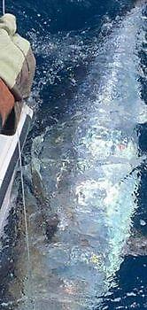 A huge Bluefin Tuna Cavalier & Blue Marlin Sport Fishing Gran Canaria