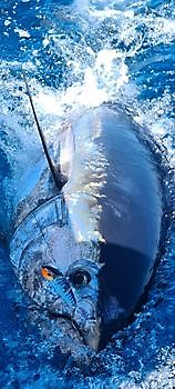 Bluefin tuna Cavalier & Blue Marlin Sport Fishing Gran Canaria