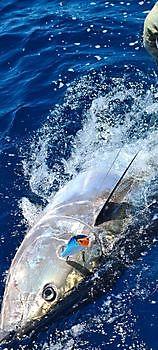 2/3 Blauwvin tonijnen Cavalier & Blue Marlin Sport Fishing Gran Canaria