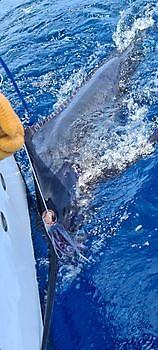 400 lb Blue Marlin Cavalier & Blue Marlin Sport Fishing Gran Canaria