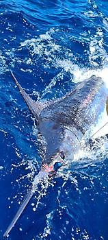 440 lb Blue Marlin Released Cavalier & Blue Marlin Sport Fishing Gran Canaria