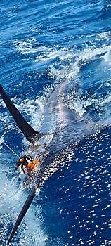 330lb Blue Marlin Cavalier & Blue Marlin Sport Fishing Gran Canaria