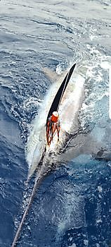 550 lb Blue Marlin Released Cavalier & Blue Marlin Sport Fishing Gran Canaria
