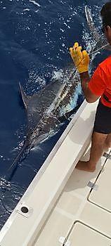 Blue Marlin Release Cavalier & Blue Marlin Sport Fishing Gran Canaria