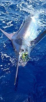 2/3 Blue Marlin su Cavalier Cavalier & Blue Marlin Pesca sportiva Gran Canaria