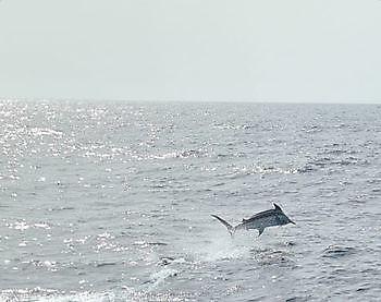 Jumping Blue Marlin Cavalier & Blue Marlin Sport Fishing Gran Canaria