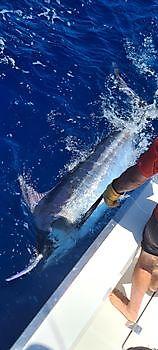 500 lb Blauwe Marlijn gereleased Cavalier & Blue Marlin Sport Fishing Gran Canaria
