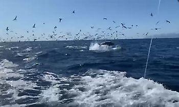 Die Show geht weiter Cavalier & Blue Marlin Sportfischen Gran Canaria